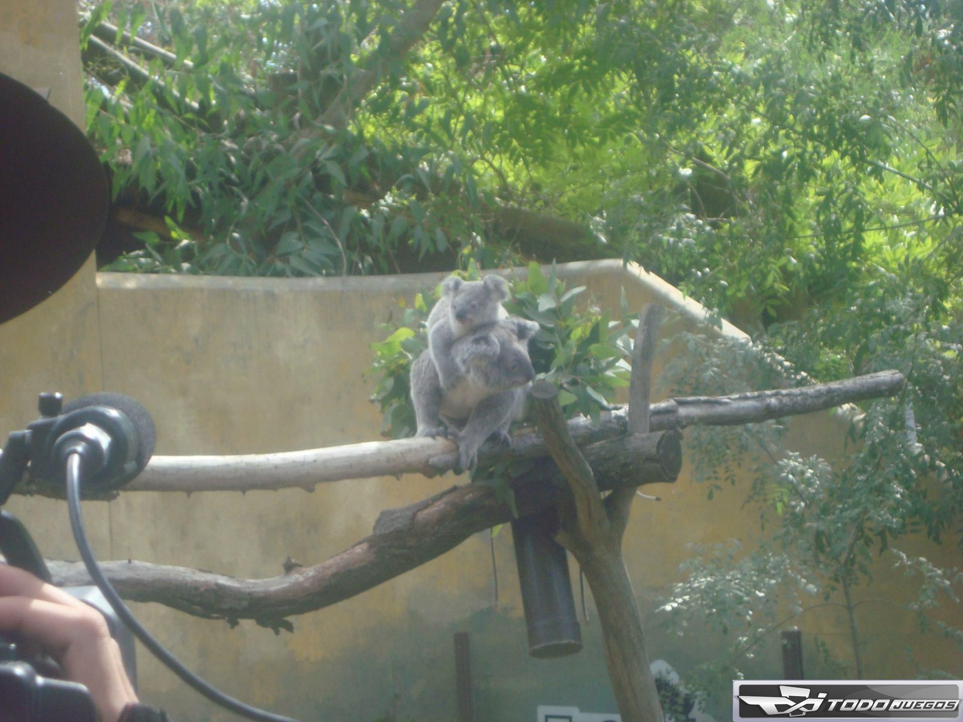 Cría de koala se llama como un juego de Play Station